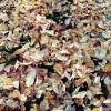 秋も終盤。落ち葉の絨毯の季節です。